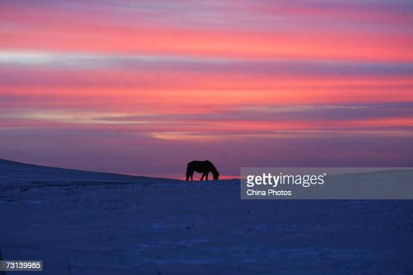 A horse eats grass at the grassland on sunset on January 28 2007 in Wulanchabu League of Inner Mongolia Autonomous Region China