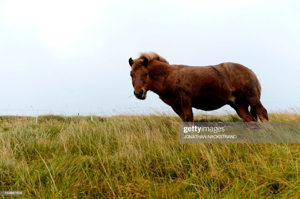 A horse eats grass on October 12, 2012 near Torshavn on the Streymoy Island, the largest of Faroe Islands in this Atlantic ocean archipelago nation. The Faroe Islands are known for its fishing and sheep farming as the main industries. AFP PHOTO / JONATHAN NACKSTRAND
