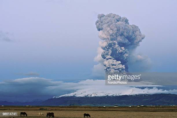 Horse graze as a cloud of volcanic matter rises from the erupting Eyjafjallajokull volcano April 16 2010 in Fimmvorduhals Iceland A major eruption...