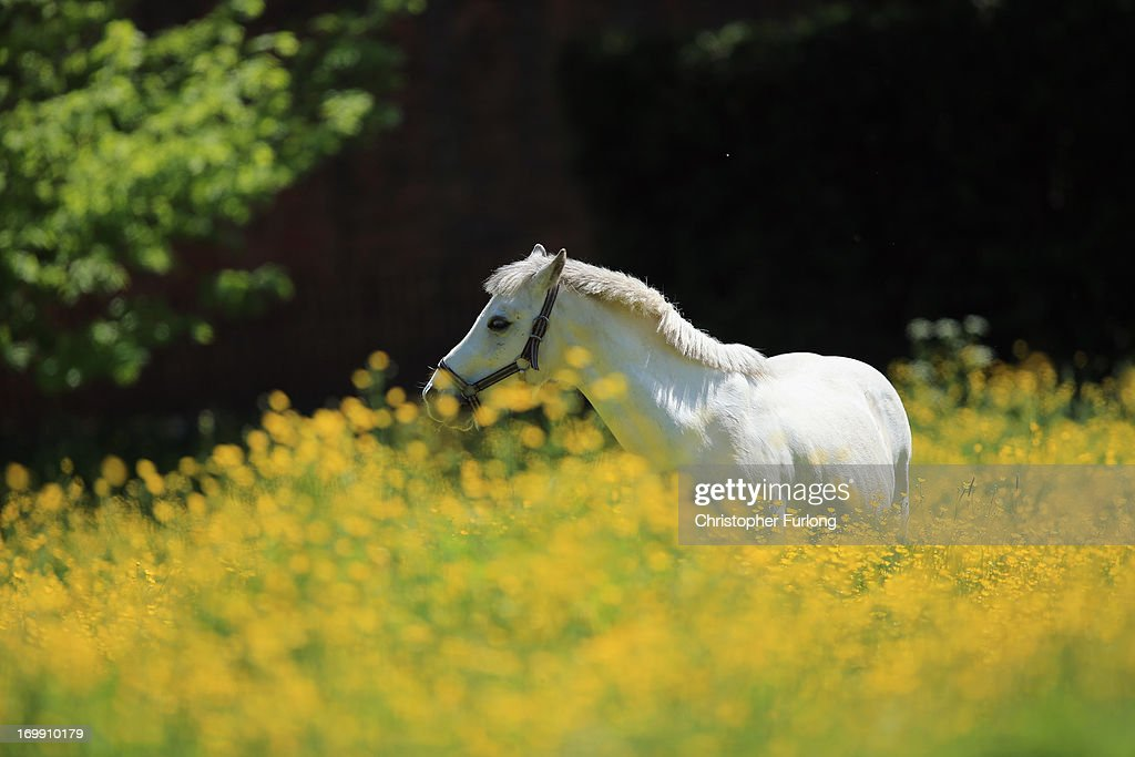 A horse grazes in a field of Buttercups in a field close to the village of Lapley in South Staffordshire on June 4, 2013 in Stafford, United Kingdom. Buttercups and Rapeseed are in full bloom as the sun shines across the country.