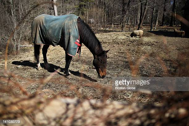 A horse grazing on Maple Street in Norwell still needs to wear a winter blanket on March 6 despite warming temperatures