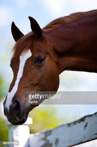 Cabeça de Cavalo : Foto de stock