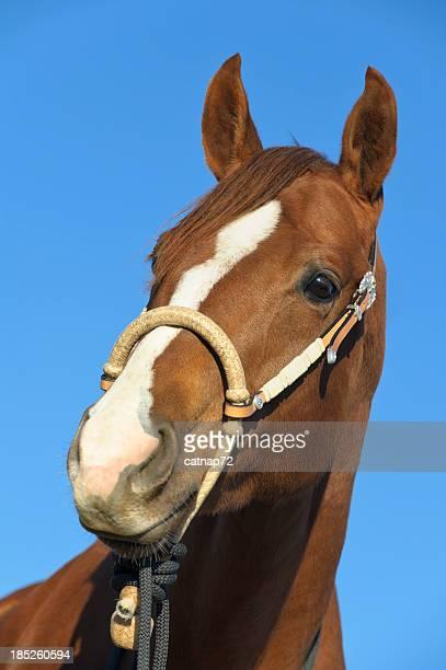 Fotografia da cabeça de cavalo plano aproximado, Bosal freio, azul céu fundo