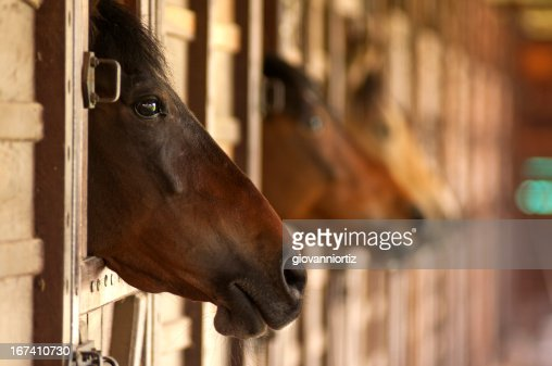 horse heads : Stock Photo