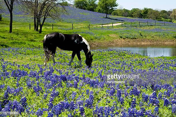 horse in bluebonnet meadow