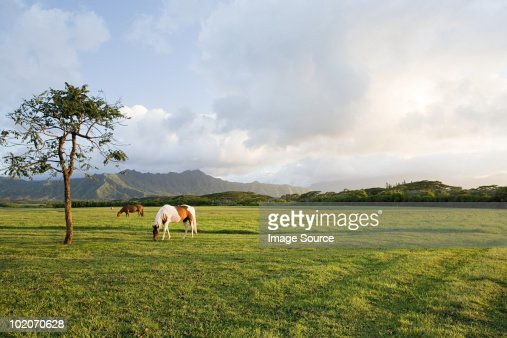 Horse in field near princeville, kauai : Stock Photo