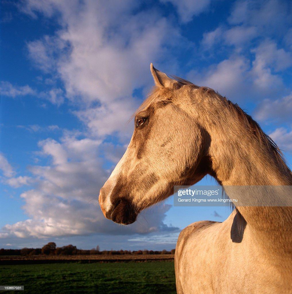 Horse in golden sunset light