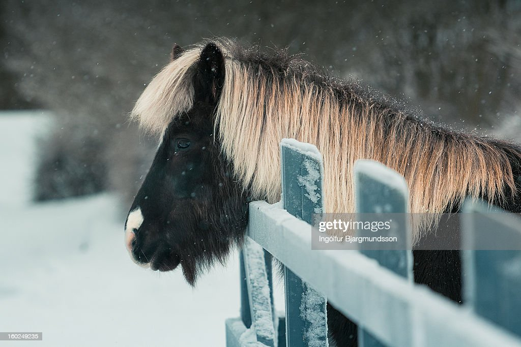 Horse in snow : Stock Photo