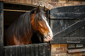 Dark brown horse looking out of stable