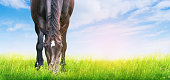 horse is grazed on sunny meadow , banner for website