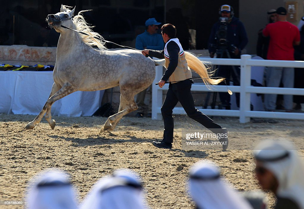 A horse is paraded during the 5th International Arabian Horse Festival at the Bait al-Arab Arabian Horse Center in Kuwait City on February 6, 2016. A total of 419 horses from different Arab countries are participting in the event. / AFP / YASSER AL-ZAYYAT