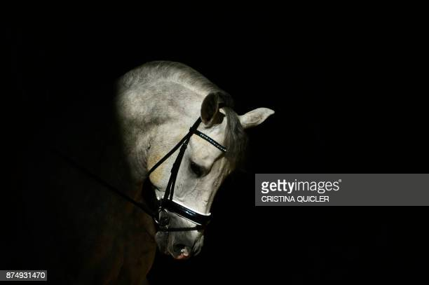 A horse is pictured before an exhibition at the Sicab 2017 International Horse fair in Sevilla on November 16 2017 / AFP PHOTO / CRISTINA QUICLER