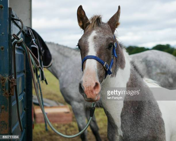 A horse is tethered to its horsebox during the 194th Sedgefield Show on August 12 2017 in Sedgefield England The annual show is held on the second...