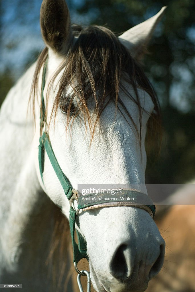 Horse looking at camera, cropped view : Stock Photo