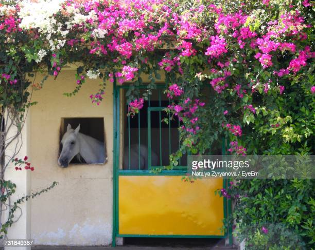 Horse Looking Out From Stable