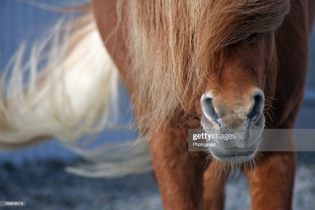 Horse nose : Stock Photo
