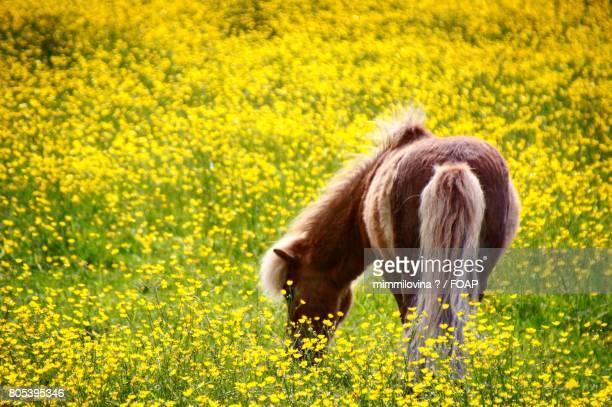 Horse on yellow field