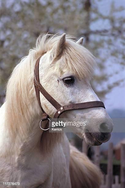 horse portrait - old shetlandpony