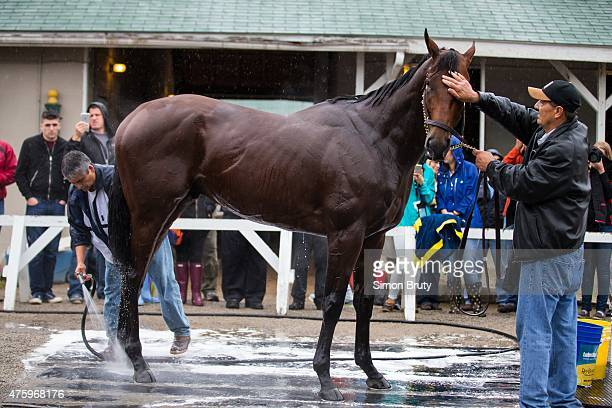 Belmont Stakes Preview View of American Pharoah during bath after morning workout outside of stables at Churchill Downs Louisville KY 6/1/2015 CREDIT...