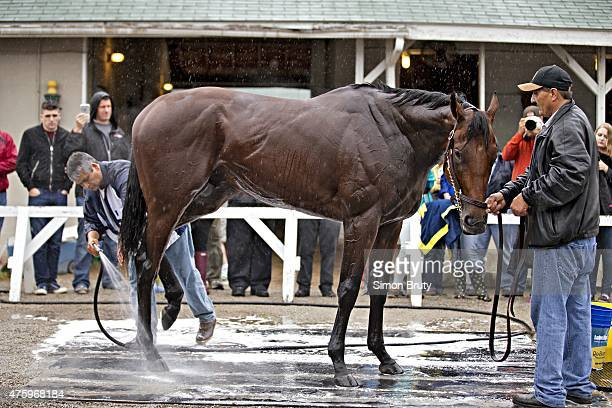 Belmont Stakes Preview View of American Pharoah during bath after morning workout outside of stables at Churchill Downs Louisville KY CREDIT Simon...