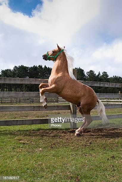 Cavalo rampante