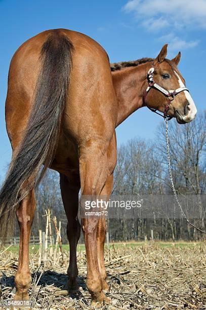 Horse Rückansicht, große Po nach hinten