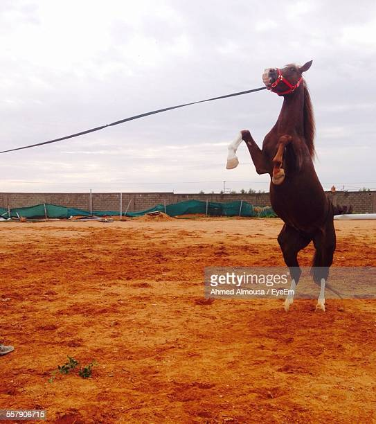 Horse Rearing Up In Paddock