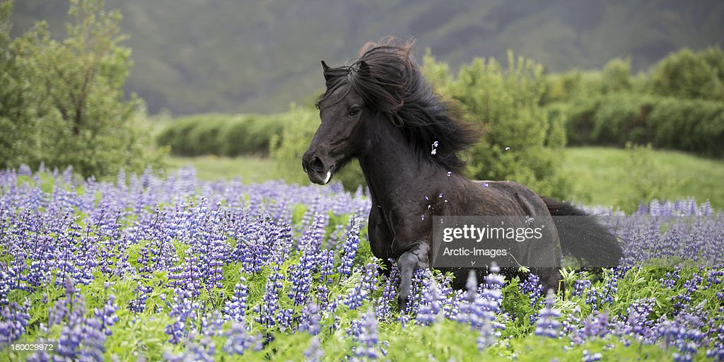 Horse running on lupine trail : Stock Photo