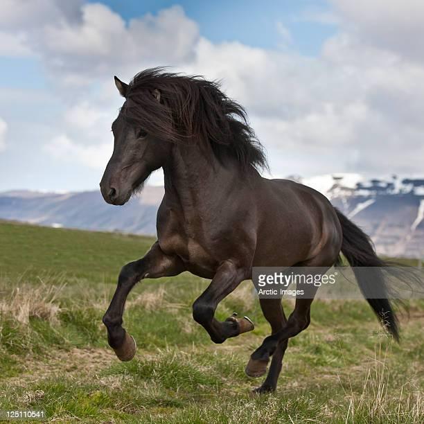 Horse running, Stallion