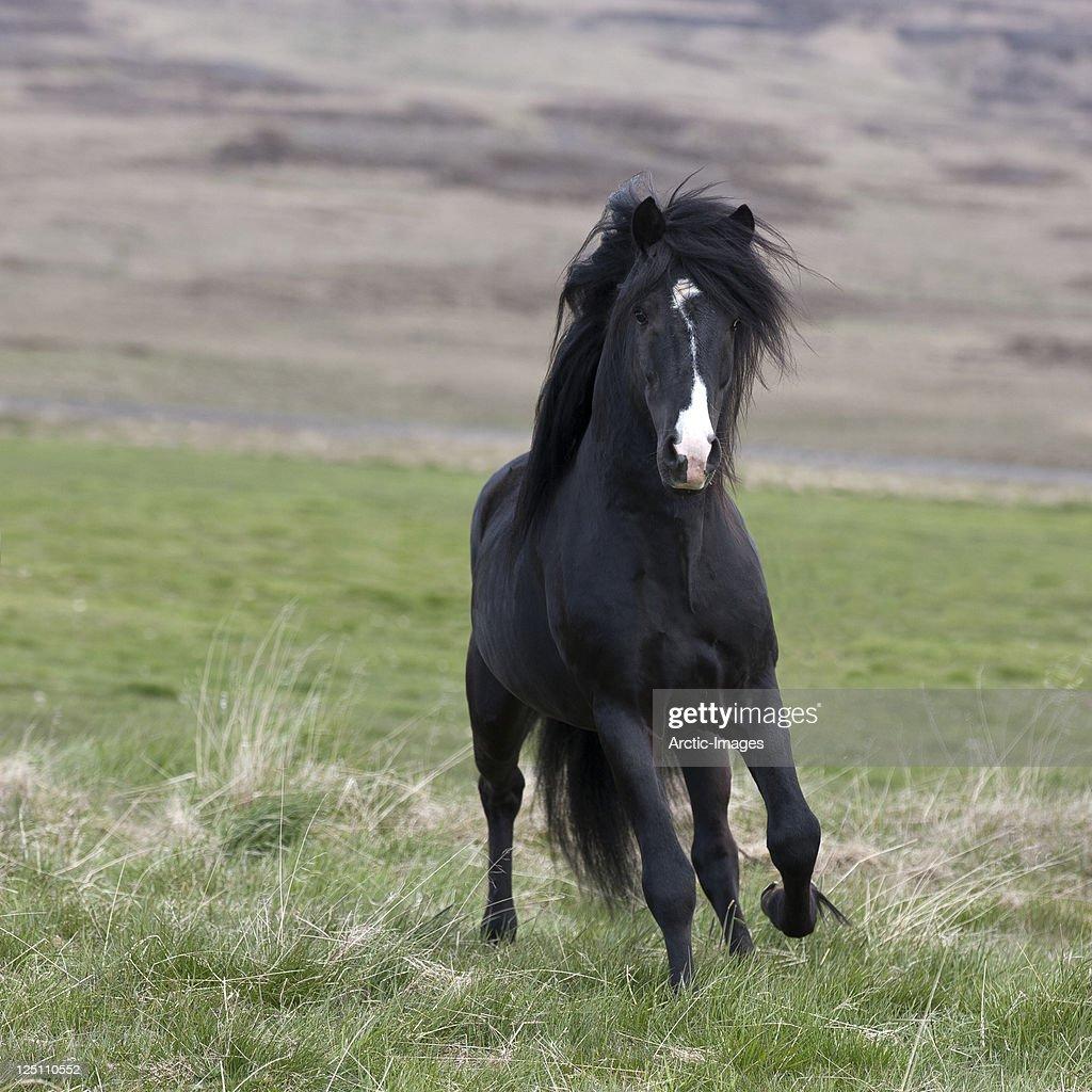 Horse running, Stallion : Stock Photo