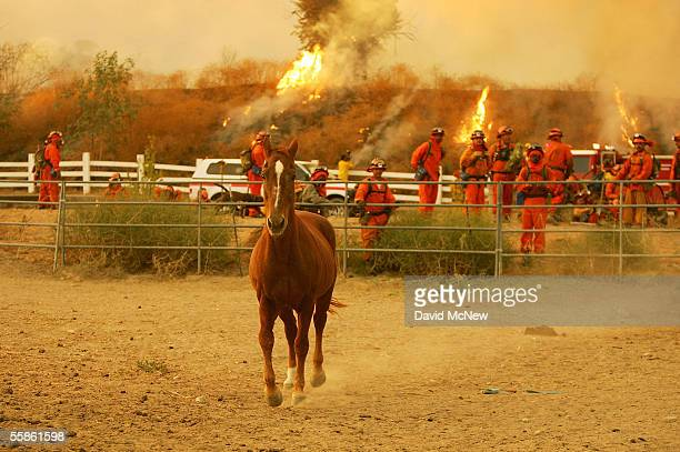A horse runs as flames burn near inmate firefighters from Camp Bautista taking a break after a full night of fighting the Woodhouse fire also being...
