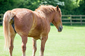 Horse shit. Chestnut horse taking a crap. Funny animal meme image of an animal shitting in a field. With copy space for political comment.