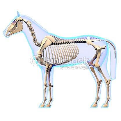 Vista Lateral De Esqueleto De Caballo Caballos Equus Anatomía Foto ...