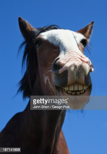 a horse smiling and showing its teeth stock photo getty