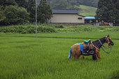 A horse stands in a rice paddy before taking part in the Soma Nomaoi festival in in Minamisoma Fukushima Prefecture Japan on Sunday July 24 2016...