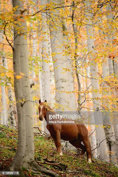 Horse staring at the camera in autumn wood