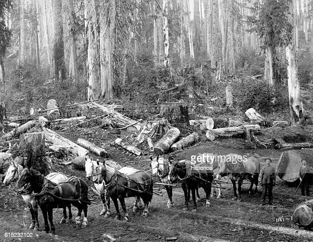 A horse team drags out logs in Pierce County Washington 1909