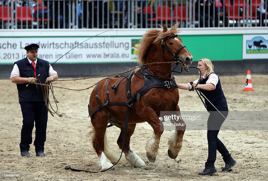 Horse trainers calm a nervous Schleswig Kaltblut stallion during a presentation at the 2013 Gruene Woche agricultural trade fair on January 18, 2013 in Berlin, Germany. The Gruene Woche, which is the world's largest agricultural trade fair, runs from January 18-27, and this year's partner country is Holland.