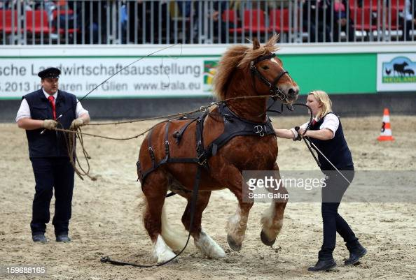 Horse trainers calm a nervous Schleswig Kaltblut stallion during a presentation at the 2013 Gruene Woche agricultural trade fair on January 18 2013...