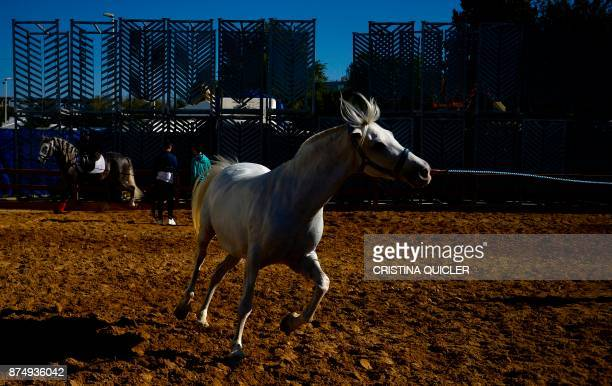 A horse trains before an exhibition at the Sicab 2017 International Horse fair in Sevilla on November 16 2017 / AFP PHOTO / CRISTINA QUICLER