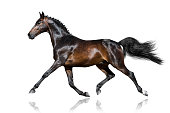 Beautiful bay stallion trotting  isolated on white background