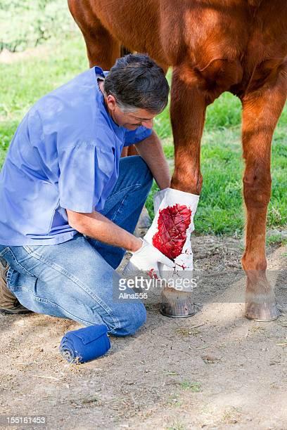 horse Tierarzt putting eine Packung auf Pferd's Bein