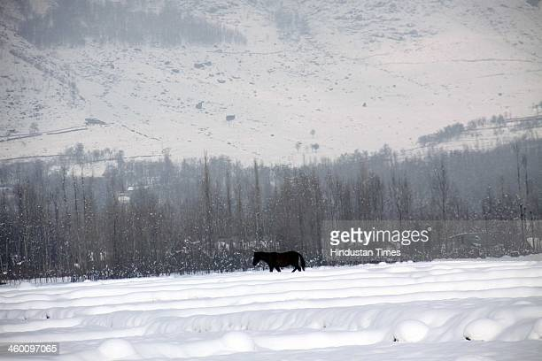 A horse walks on a snow covered field on January 1 2014 in Srinagar India Kashmir Valley was cut off from rest of the country for the second...