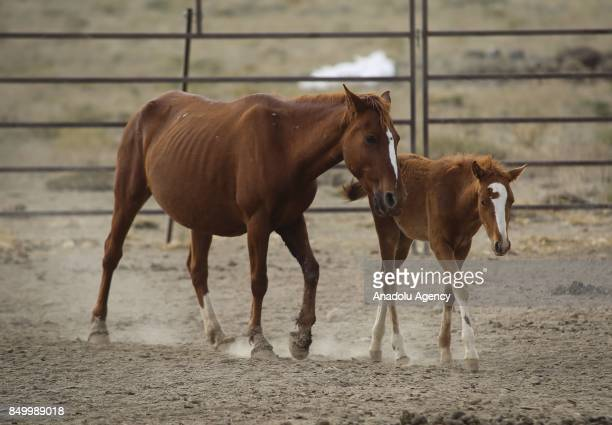 A horse walks with a foal at a horse sanctuary centre in Karadag district of Karaman Turkey on September 20 2017 Horses are being captured within the...