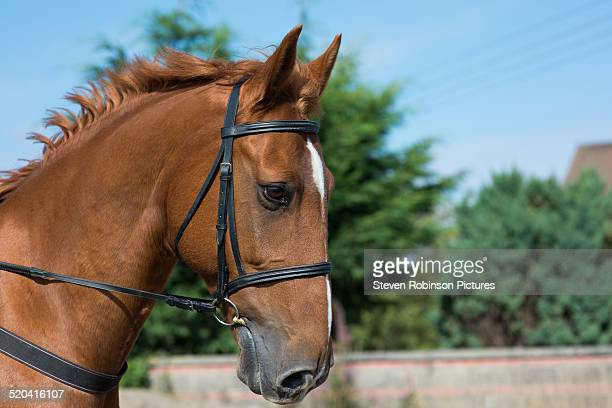 Horse with Bridle 2