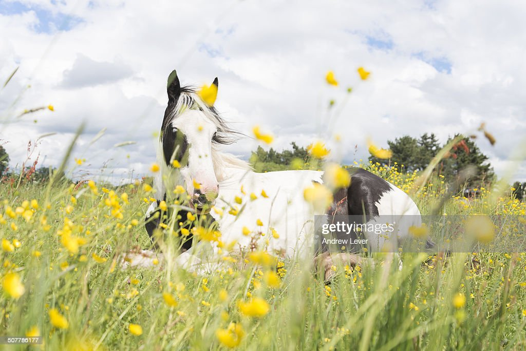 Horse with buttercups