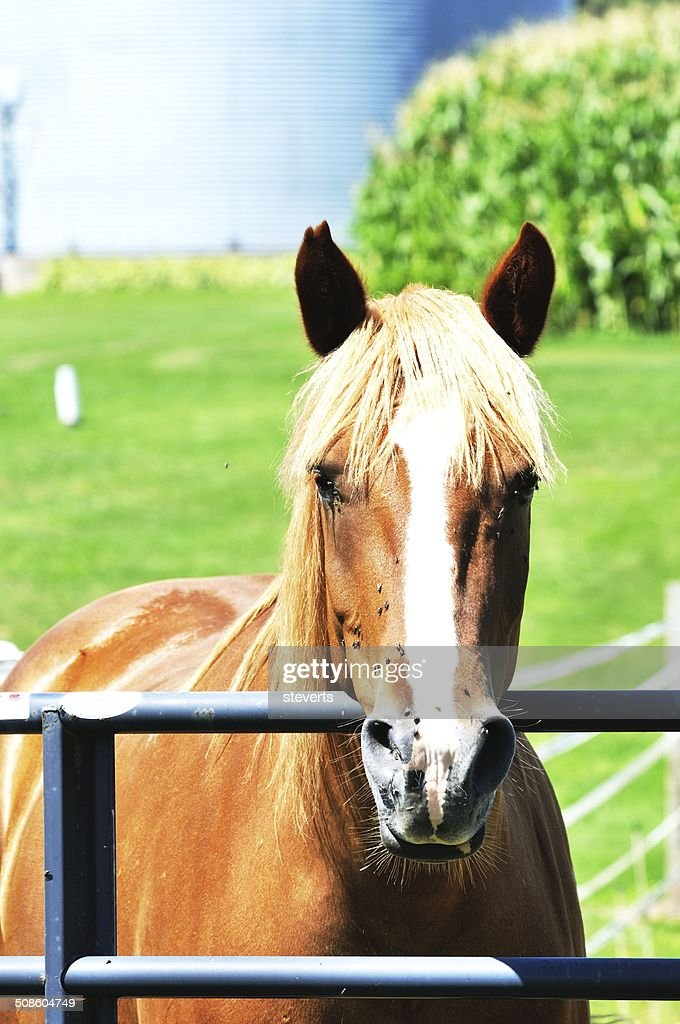 Horse with Flies : Stock Photo