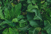 green leaves of horseradish in the garden, harvest agriculture