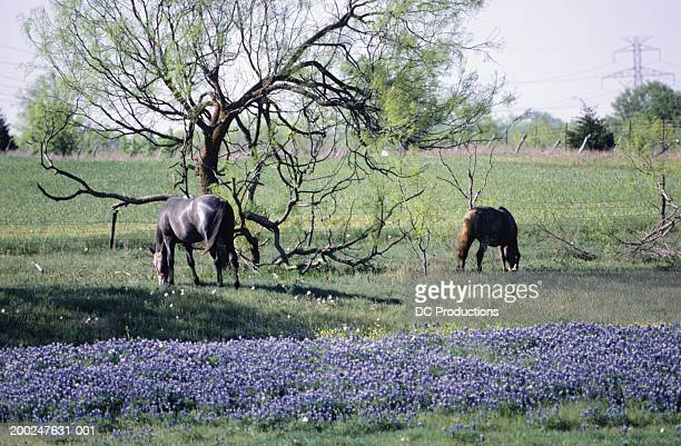 Horses and Bluebonnet, Texas, USA