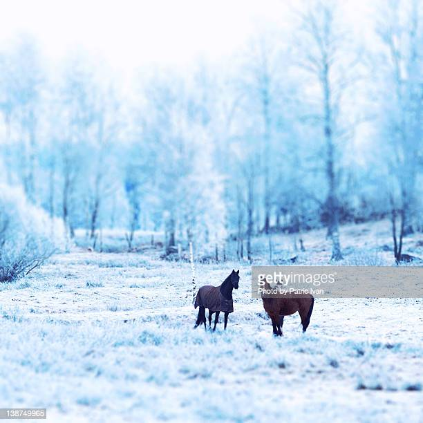 Horses and frost